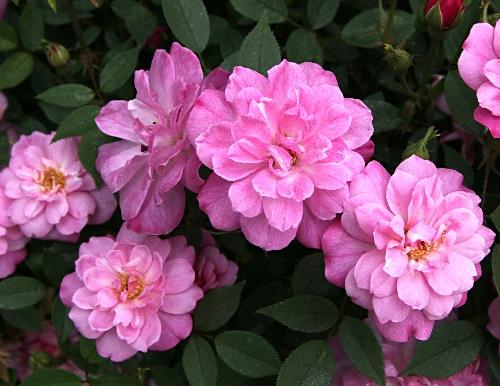 rosachinensisminimaQ1.jpg