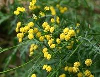 ヨモギギクの花